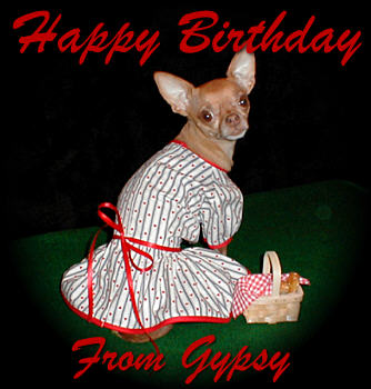 Gypsy The Red Chihuahua
